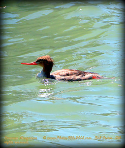 Common Merganser      © www.PhotosRUs2008.com   Bob Lester   All rights reserved.