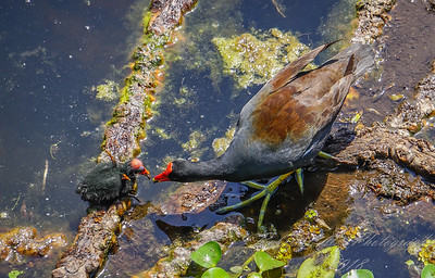 2018-04-01_DSC00471_common gallinule