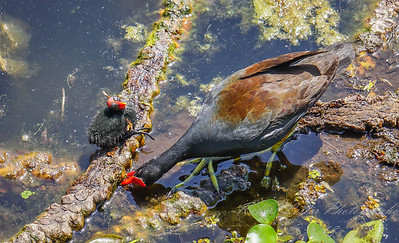 2018-04-01_DSC00473_common gallinule
