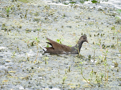 2018-10-14_PA140061_ Common Gallinule_Taylor Park,Largo,Fl