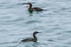 Pelagic (front) and Brandt's Cormorants