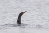 Double-crested Cormorant swallowing the fish