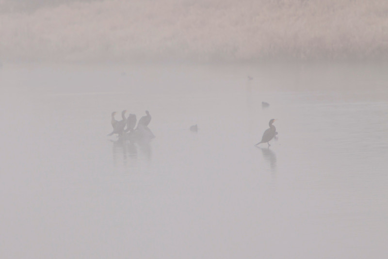 Double-crested Cormorants in fog