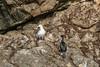Small Pelagic Cormorant next to huge Glaucous-winged Gull