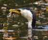 Little Pied Cormorant. Melbourne
