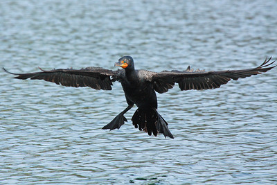 Double Crested Cormorant in coming in for a landing at Klineline park in Vancouver, WA  Print size 5 x 7 $14.00 USD 8 x 10 $20.00 USD 8 x 12 $20.00 USD 11 x 14 $28.00 USD 12 x 18 $35.00 USD 16 x 20 $50.00 USD