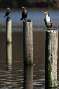 A young cormorant with two adults in the background at Klineline Park in Vancouver, WA.  Print size 5 x 7 $14.00 USD 8 x 10 $20.00 USD 8 x 12 $20.00 USD 11 x 14 $28.00 USD 12 x 18 $35.00 USD 16 x 20 $50.00 USD