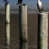 """A young cormorant with two adults in the background at Klineline Park in Vancouver, WA.  <div class=""""ss-paypal-button""""><br><form target=""""paypal"""" action=""""https://www.paypal.com/cgi-bin/webscr"""" method=""""post"""" ><input type=""""hidden"""" name=""""cmd"""" value=""""_cart""""><input type=""""hidden"""" name=""""business"""" value=""""947PXEXBHP9H8""""><input type=""""hidden"""" name=""""lc"""" value=""""US""""><input type=""""hidden"""" name=""""item_name"""" value=""""A young cormorant with two adults in the background at Klineline Park in Vancouver, WA.""""><input type=""""hidden"""" name=""""item_number"""" value=""""http:&#x2F;&#x2F;www.werthwildphotography.com&#x2F;Animals&#x2F;Birds&#x2F;Cormorants&#x2F;i-KmcmHJV""""><input type=""""hidden"""" name=""""button_subtype"""" value=""""products""""><input type=""""hidden"""" name=""""no_note"""" value=""""0""""><input type=""""hidden"""" name=""""cn"""" value=""""Add special instructions to the seller:""""><input type=""""hidden"""" name=""""no_shipping"""" value=""""2""""><input type=""""hidden"""" name=""""currency_code"""" value=""""USD""""><input type=""""hidden"""" name=""""shipping"""" value=""""4.00""""><input type=""""hidden"""" name=""""add"""" value=""""1""""><input type=""""hidden"""" name=""""bn"""" value=""""PP-ShopCartBF:btn_cart_LG.gif:NonHosted""""><table class=""""printSize""""><tr><td><input type=""""hidden"""" name=""""on0"""" value=""""Print size"""">Print size</td></tr><tr><td><select name=""""os0""""> <option value=""""5 x 7"""">5 x 7 $14.00 USD</option> <option value=""""8 x 10"""">8 x 10 $20.00 USD</option> <option value=""""8 x 12"""">8 x 12 $20.00 USD</option> <option value=""""11 x 14"""">11 x 14 $28.00 USD</option> <option value=""""12 x 18"""">12 x 18 $35.00 USD</option> <option value=""""16 x 20"""">16 x 20 $50.00 USD</option></select> </td></tr></table><input type=""""hidden"""" name=""""currency_code"""" value=""""USD""""><input type=""""hidden"""" name=""""option_select0"""" value=""""5 x 7""""><input type=""""hidden"""" name=""""option_amount0"""" value=""""14.00""""><input type=""""hidden"""" name=""""option_select1"""" value=""""8 x 10""""><input type=""""hidden"""" name=""""option_amount1"""" value=""""20.00""""><input type=""""hidden"""" name=""""option_select2"""" value=""""8 x 12""""><input type=""""hidden"""" name=""""option_amount2"""" value=""""20.00""""><input type=""""hidden"""" name=""""option_select3"""""""