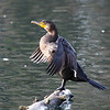 """A cormorant drying off those wings in evening light at the Crystal Springs Rhododendron Garden in Portland, OR.  <div class=""""ss-paypal-button""""><br><form target=""""paypal"""" action=""""https://www.paypal.com/cgi-bin/webscr"""" method=""""post"""" ><input type=""""hidden"""" name=""""cmd"""" value=""""_cart""""><input type=""""hidden"""" name=""""business"""" value=""""947PXEXBHP9H8""""><input type=""""hidden"""" name=""""lc"""" value=""""US""""><input type=""""hidden"""" name=""""item_name"""" value=""""A cormorant drying off those wings in evening light at the Crystal Springs Rhododendron Garden in Portland, OR.""""><input type=""""hidden"""" name=""""item_number"""" value=""""http:&#x2F;&#x2F;www.werthwildphotography.com&#x2F;Animals&#x2F;Birds&#x2F;Cormorants&#x2F;i-SVMCvJd""""><input type=""""hidden"""" name=""""button_subtype"""" value=""""products""""><input type=""""hidden"""" name=""""no_note"""" value=""""0""""><input type=""""hidden"""" name=""""cn"""" value=""""Add special instructions to the seller:""""><input type=""""hidden"""" name=""""no_shipping"""" value=""""2""""><input type=""""hidden"""" name=""""currency_code"""" value=""""USD""""><input type=""""hidden"""" name=""""shipping"""" value=""""4.00""""><input type=""""hidden"""" name=""""add"""" value=""""1""""><input type=""""hidden"""" name=""""bn"""" value=""""PP-ShopCartBF:btn_cart_LG.gif:NonHosted""""><table class=""""printSize""""><tr><td><input type=""""hidden"""" name=""""on0"""" value=""""Print size"""">Print size</td></tr><tr><td><select name=""""os0""""> <option value=""""5 x 7"""">5 x 7 $14.00 USD</option> <option value=""""8 x 10"""">8 x 10 $20.00 USD</option> <option value=""""8 x 12"""">8 x 12 $20.00 USD</option> <option value=""""11 x 14"""">11 x 14 $28.00 USD</option> <option value=""""12 x 18"""">12 x 18 $35.00 USD</option> <option value=""""16 x 20"""">16 x 20 $50.00 USD</option></select> </td></tr></table><input type=""""hidden"""" name=""""currency_code"""" value=""""USD""""><input type=""""hidden"""" name=""""option_select0"""" value=""""5 x 7""""><input type=""""hidden"""" name=""""option_amount0"""" value=""""14.00""""><input type=""""hidden"""" name=""""option_select1"""" value=""""8 x 10""""><input type=""""hidden"""" name=""""option_amount1"""" value=""""20.00""""><input type=""""hidden"""" name=""""option_select2"""" value=""""8 x 12""""><input type=""""hidden"""" name=""""option_amount2"""" value=""""2"""