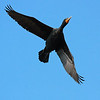 """Double Crested Cormorant in flight at Klineline park in Vancouver, WA  <div class=""""ss-paypal-button""""><br><form target=""""paypal"""" action=""""https://www.paypal.com/cgi-bin/webscr"""" method=""""post"""" ><input type=""""hidden"""" name=""""cmd"""" value=""""_cart""""><input type=""""hidden"""" name=""""business"""" value=""""947PXEXBHP9H8""""><input type=""""hidden"""" name=""""lc"""" value=""""US""""><input type=""""hidden"""" name=""""item_name"""" value=""""Double Crested Cormorant in flight at Klineline park in Vancouver, WA""""><input type=""""hidden"""" name=""""item_number"""" value=""""http:&#x2F;&#x2F;www.werthwildphotography.com&#x2F;Animals&#x2F;Birds&#x2F;Cormorants&#x2F;i-SbVWngt""""><input type=""""hidden"""" name=""""button_subtype"""" value=""""products""""><input type=""""hidden"""" name=""""no_note"""" value=""""0""""><input type=""""hidden"""" name=""""cn"""" value=""""Add special instructions to the seller:""""><input type=""""hidden"""" name=""""no_shipping"""" value=""""2""""><input type=""""hidden"""" name=""""currency_code"""" value=""""USD""""><input type=""""hidden"""" name=""""shipping"""" value=""""4.00""""><input type=""""hidden"""" name=""""add"""" value=""""1""""><input type=""""hidden"""" name=""""bn"""" value=""""PP-ShopCartBF:btn_cart_LG.gif:NonHosted""""><table class=""""printSize""""><tr><td><input type=""""hidden"""" name=""""on0"""" value=""""Print size"""">Print size</td></tr><tr><td><select name=""""os0""""> <option value=""""5 x 7"""">5 x 7 $14.00 USD</option> <option value=""""8 x 10"""">8 x 10 $20.00 USD</option> <option value=""""8 x 12"""">8 x 12 $20.00 USD</option> <option value=""""11 x 14"""">11 x 14 $28.00 USD</option> <option value=""""12 x 18"""">12 x 18 $35.00 USD</option> <option value=""""16 x 20"""">16 x 20 $50.00 USD</option></select> </td></tr></table><input type=""""hidden"""" name=""""currency_code"""" value=""""USD""""><input type=""""hidden"""" name=""""option_select0"""" value=""""5 x 7""""><input type=""""hidden"""" name=""""option_amount0"""" value=""""14.00""""><input type=""""hidden"""" name=""""option_select1"""" value=""""8 x 10""""><input type=""""hidden"""" name=""""option_amount1"""" value=""""20.00""""><input type=""""hidden"""" name=""""option_select2"""" value=""""8 x 12""""><input type=""""hidden"""" name=""""option_amount2"""" value=""""20.00""""><input type=""""hidden"""" name=""""option_select3"""" value=""""11 x 14""""><input type=""""hidden"""