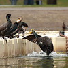 """Territorial dispute between two double crested cormorants at Klineline Park in Vancouver, WA  <div class=""""ss-paypal-button""""><br><form target=""""paypal"""" action=""""https://www.paypal.com/cgi-bin/webscr"""" method=""""post"""" ><input type=""""hidden"""" name=""""cmd"""" value=""""_cart""""><input type=""""hidden"""" name=""""business"""" value=""""947PXEXBHP9H8""""><input type=""""hidden"""" name=""""lc"""" value=""""US""""><input type=""""hidden"""" name=""""item_name"""" value=""""Territorial dispute between two double crested cormorants at Klineline Park in Vancouver, WA""""><input type=""""hidden"""" name=""""item_number"""" value=""""http:&#x2F;&#x2F;www.werthwildphotography.com&#x2F;Animals&#x2F;Birds&#x2F;Cormorants&#x2F;i-ZwvW3Tp""""><input type=""""hidden"""" name=""""button_subtype"""" value=""""products""""><input type=""""hidden"""" name=""""no_note"""" value=""""0""""><input type=""""hidden"""" name=""""cn"""" value=""""Add special instructions to the seller:""""><input type=""""hidden"""" name=""""no_shipping"""" value=""""2""""><input type=""""hidden"""" name=""""currency_code"""" value=""""USD""""><input type=""""hidden"""" name=""""shipping"""" value=""""4.00""""><input type=""""hidden"""" name=""""add"""" value=""""1""""><input type=""""hidden"""" name=""""bn"""" value=""""PP-ShopCartBF:btn_cart_LG.gif:NonHosted""""><table class=""""printSize""""><tr><td><input type=""""hidden"""" name=""""on0"""" value=""""Print size"""">Print size</td></tr><tr><td><select name=""""os0""""> <option value=""""5 x 7"""">5 x 7 $14.00 USD</option> <option value=""""8 x 10"""">8 x 10 $20.00 USD</option> <option value=""""8 x 12"""">8 x 12 $20.00 USD</option> <option value=""""11 x 14"""">11 x 14 $28.00 USD</option> <option value=""""12 x 18"""">12 x 18 $35.00 USD</option> <option value=""""16 x 20"""">16 x 20 $50.00 USD</option></select> </td></tr></table><input type=""""hidden"""" name=""""currency_code"""" value=""""USD""""><input type=""""hidden"""" name=""""option_select0"""" value=""""5 x 7""""><input type=""""hidden"""" name=""""option_amount0"""" value=""""14.00""""><input type=""""hidden"""" name=""""option_select1"""" value=""""8 x 10""""><input type=""""hidden"""" name=""""option_amount1"""" value=""""20.00""""><input type=""""hidden"""" name=""""option_select2"""" value=""""8 x 12""""><input type=""""hidden"""" name=""""option_amount2"""" value=""""20.00""""><input type=""""hidden"""" name=""""optio"""