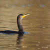 """A double crested cormorant looking proud in the evening light at Klineline Park in Vancouver, WA.  <div class=""""ss-paypal-button""""><br><form target=""""paypal"""" action=""""https://www.paypal.com/cgi-bin/webscr"""" method=""""post"""" ><input type=""""hidden"""" name=""""cmd"""" value=""""_cart""""><input type=""""hidden"""" name=""""business"""" value=""""947PXEXBHP9H8""""><input type=""""hidden"""" name=""""lc"""" value=""""US""""><input type=""""hidden"""" name=""""item_name"""" value=""""A double crested cormorant looking proud in the evening light at Klineline Park in Vancouver, WA.""""><input type=""""hidden"""" name=""""item_number"""" value=""""http:&#x2F;&#x2F;www.werthwildphotography.com&#x2F;Animals&#x2F;Birds&#x2F;Cormorants&#x2F;i-cGdqQWf""""><input type=""""hidden"""" name=""""button_subtype"""" value=""""products""""><input type=""""hidden"""" name=""""no_note"""" value=""""0""""><input type=""""hidden"""" name=""""cn"""" value=""""Add special instructions to the seller:""""><input type=""""hidden"""" name=""""no_shipping"""" value=""""2""""><input type=""""hidden"""" name=""""currency_code"""" value=""""USD""""><input type=""""hidden"""" name=""""shipping"""" value=""""4.00""""><input type=""""hidden"""" name=""""add"""" value=""""1""""><input type=""""hidden"""" name=""""bn"""" value=""""PP-ShopCartBF:btn_cart_LG.gif:NonHosted""""><table class=""""printSize""""><tr><td><input type=""""hidden"""" name=""""on0"""" value=""""Print size"""">Print size</td></tr><tr><td><select name=""""os0""""> <option value=""""5 x 7"""">5 x 7 $14.00 USD</option> <option value=""""8 x 10"""">8 x 10 $20.00 USD</option> <option value=""""8 x 12"""">8 x 12 $20.00 USD</option> <option value=""""11 x 14"""">11 x 14 $28.00 USD</option> <option value=""""12 x 18"""">12 x 18 $35.00 USD</option> <option value=""""16 x 20"""">16 x 20 $50.00 USD</option></select> </td></tr></table><input type=""""hidden"""" name=""""currency_code"""" value=""""USD""""><input type=""""hidden"""" name=""""option_select0"""" value=""""5 x 7""""><input type=""""hidden"""" name=""""option_amount0"""" value=""""14.00""""><input type=""""hidden"""" name=""""option_select1"""" value=""""8 x 10""""><input type=""""hidden"""" name=""""option_amount1"""" value=""""20.00""""><input type=""""hidden"""" name=""""option_select2"""" value=""""8 x 12""""><input type=""""hidden"""" name=""""option_amount2"""" value=""""20.00""""><input type=""""hidden"""" n"""
