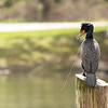 """This is what tends to happen to these birds after the steal a fish. They end up breaking the line but it still hangs out their mouth until they throw up the hook. Seen at Klineline Park in Vancouver, WA  <div class=""""ss-paypal-button""""><br><form target=""""paypal"""" action=""""https://www.paypal.com/cgi-bin/webscr"""" method=""""post"""" ><input type=""""hidden"""" name=""""cmd"""" value=""""_cart""""><input type=""""hidden"""" name=""""business"""" value=""""947PXEXBHP9H8""""><input type=""""hidden"""" name=""""lc"""" value=""""US""""><input type=""""hidden"""" name=""""item_name"""" value=""""This is what tends to happen to these birds after the steal a fish. They end up breaking the line but it still hangs out their mouth until they throw up the hook. Seen at Klineline Park in Vancouver, WA""""><input type=""""hidden"""" name=""""item_number"""" value=""""http:&#x2F;&#x2F;www.werthwildphotography.com&#x2F;Animals&#x2F;Birds&#x2F;Cormorants&#x2F;i-cqdmL4x""""><input type=""""hidden"""" name=""""button_subtype"""" value=""""products""""><input type=""""hidden"""" name=""""no_note"""" value=""""0""""><input type=""""hidden"""" name=""""cn"""" value=""""Add special instructions to the seller:""""><input type=""""hidden"""" name=""""no_shipping"""" value=""""2""""><input type=""""hidden"""" name=""""currency_code"""" value=""""USD""""><input type=""""hidden"""" name=""""shipping"""" value=""""4.00""""><input type=""""hidden"""" name=""""add"""" value=""""1""""><input type=""""hidden"""" name=""""bn"""" value=""""PP-ShopCartBF:btn_cart_LG.gif:NonHosted""""><table class=""""printSize""""><tr><td><input type=""""hidden"""" name=""""on0"""" value=""""Print size"""">Print size</td></tr><tr><td><select name=""""os0""""> <option value=""""5 x 7"""">5 x 7 $14.00 USD</option> <option value=""""8 x 10"""">8 x 10 $20.00 USD</option> <option value=""""8 x 12"""">8 x 12 $20.00 USD</option> <option value=""""11 x 14"""">11 x 14 $28.00 USD</option> <option value=""""12 x 18"""">12 x 18 $35.00 USD</option> <option value=""""16 x 20"""">16 x 20 $50.00 USD</option></select> </td></tr></table><input type=""""hidden"""" name=""""currency_code"""" value=""""USD""""><input type=""""hidden"""" name=""""option_select0"""" value=""""5 x 7""""><input type=""""hidden"""" name=""""option_amount0"""" value=""""14.00""""><input type=""""hidden"""" name=""""option_select1"""""""