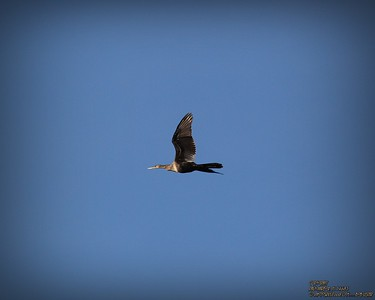 2013-11-01_ Cormorant,Palm Harbor,Fl _IMG_6978_