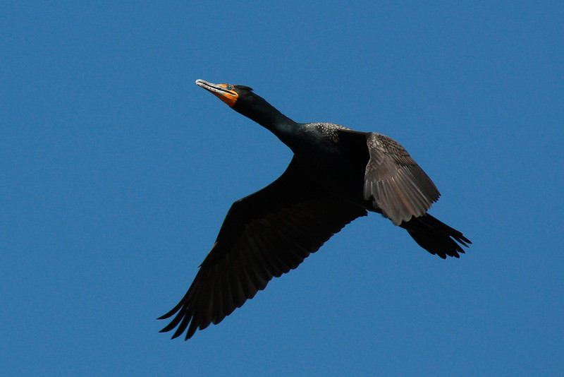 """Double Crested Cormorant in flight at Klineline park in Vancouver, WA  <div class=""""ss-paypal-button""""><br><form target=""""paypal"""" action=""""https://www.paypal.com/cgi-bin/webscr"""" method=""""post"""" ><input type=""""hidden"""" name=""""cmd"""" value=""""_cart""""><input type=""""hidden"""" name=""""business"""" value=""""947PXEXBHP9H8""""><input type=""""hidden"""" name=""""lc"""" value=""""US""""><input type=""""hidden"""" name=""""item_name"""" value=""""Double Crested Cormorant in flight at Klineline park in Vancouver, WA""""><input type=""""hidden"""" name=""""item_number"""" value=""""http:&#x2F;&#x2F;www.werthwildphotography.com&#x2F;Animals&#x2F;Birds&#x2F;Cormorants&#x2F;i-xLrhc3k""""><input type=""""hidden"""" name=""""button_subtype"""" value=""""products""""><input type=""""hidden"""" name=""""no_note"""" value=""""0""""><input type=""""hidden"""" name=""""cn"""" value=""""Add special instructions to the seller:""""><input type=""""hidden"""" name=""""no_shipping"""" value=""""2""""><input type=""""hidden"""" name=""""currency_code"""" value=""""USD""""><input type=""""hidden"""" name=""""shipping"""" value=""""4.00""""><input type=""""hidden"""" name=""""add"""" value=""""1""""><input type=""""hidden"""" name=""""bn"""" value=""""PP-ShopCartBF:btn_cart_LG.gif:NonHosted""""><table class=""""printSize""""><tr><td><input type=""""hidden"""" name=""""on0"""" value=""""Print size"""">Print size</td></tr><tr><td><select name=""""os0""""> <option value=""""5 x 7"""">5 x 7 $14.00 USD</option> <option value=""""8 x 10"""">8 x 10 $20.00 USD</option> <option value=""""8 x 12"""">8 x 12 $20.00 USD</option> <option value=""""11 x 14"""">11 x 14 $28.00 USD</option> <option value=""""12 x 18"""">12 x 18 $35.00 USD</option> <option value=""""16 x 20"""">16 x 20 $50.00 USD</option></select> </td></tr></table><input type=""""hidden"""" name=""""currency_code"""" value=""""USD""""><input type=""""hidden"""" name=""""option_select0"""" value=""""5 x 7""""><input type=""""hidden"""" name=""""option_amount0"""" value=""""14.00""""><input type=""""hidden"""" name=""""option_select1"""" value=""""8 x 10""""><input type=""""hidden"""" name=""""option_amount1"""" value=""""20.00""""><input type=""""hidden"""" name=""""option_select2"""" value=""""8 x 12""""><input type=""""hidden"""" name=""""option_amount2"""" value=""""20.00""""><input type=""""hidden"""" name=""""option_select3"""" value=""""11 x 14""""><input type=""""hidden"""