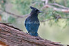 Steller's Jay, Rocky Mountain Form , Cyanocitta stelleri macrolopha, La Plata County, Colorado, USA, North America