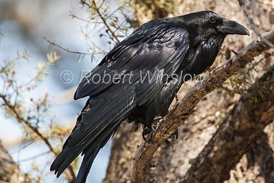 Common Raven, Corvus corax, Yellowstone  National Park, USA, North America, Order PASSERIFORMES - Family CORVIDAE