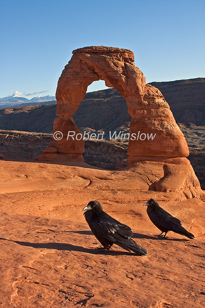Two Common Ravens, Corvus corax, Delicate Arch, Arches National Park, USA, North America, Order PASSERIFORMES - Family CORVIDAE