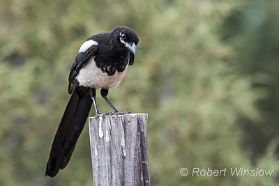 Black-billed Magpie, Pica hudsonia, La Plata County, Colorado, USA, North America