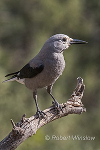Clark's Nutcracker, Nucifraga columbiana, La Plata County, Colorado, USA, North America