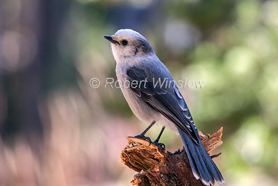 Gray Jay, Perisoreus canadensis, Yellowstone National Park, Wyoming, USA, North America