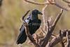 Chihuahuan Raven, Corvus cryptoleucus, Arizona-Sonora Desert Museum, Tucson, Arizona