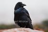 Raven, Corvus corax, Canyonlands National Park, USA, North America, Order PASSERIFORMES - Family CORVIDAE