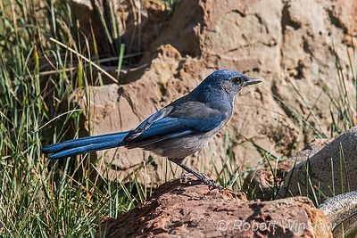 Woodhouse's Scrub-Jay, Aphelocoma woodhouseii, La Plata County, Colorado, USA, North America