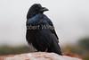 Common Raven, Corvus corax, Canyonlands National Park, USA, North America, Order PASSERIFORMES - Family CORVIDAE