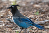 Steller's Jay, Cyanocitta stelleri, La Plata County, Colorado, USA, North America