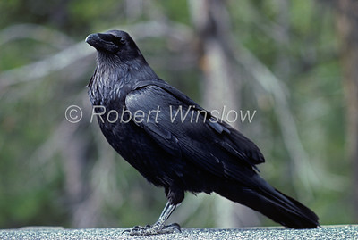 Common Raven, Corvus corax, Grand Teton National Park, Wyoming, USA, North America, Order PASSERIFORMES - Family CORVIDAE