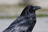 Common Raven, Corvus corax, Yellowstone National Park, Wyoming, USA, North America, Order PASSERIFORMES - Family CORVIDAE