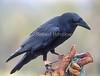 Chihuahuan Raven (Corvus cryptoleucus), Arizona-Sonora Desert Museum, Tucson, Arizona