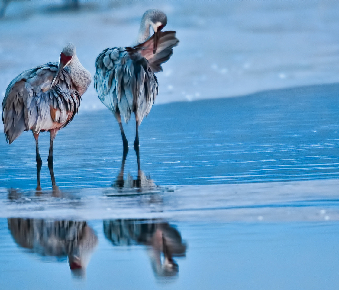 Cranes preening before sunrise. You can see the thin layer of ice that formed round their legs ( they sleep balanced on just one foot) overnight.  The brown on their feathers  is mud that they apply cosmetically (who knows?) according to the bird book.   This is probably a mated pair. Sand Hill Cranes mate for life.