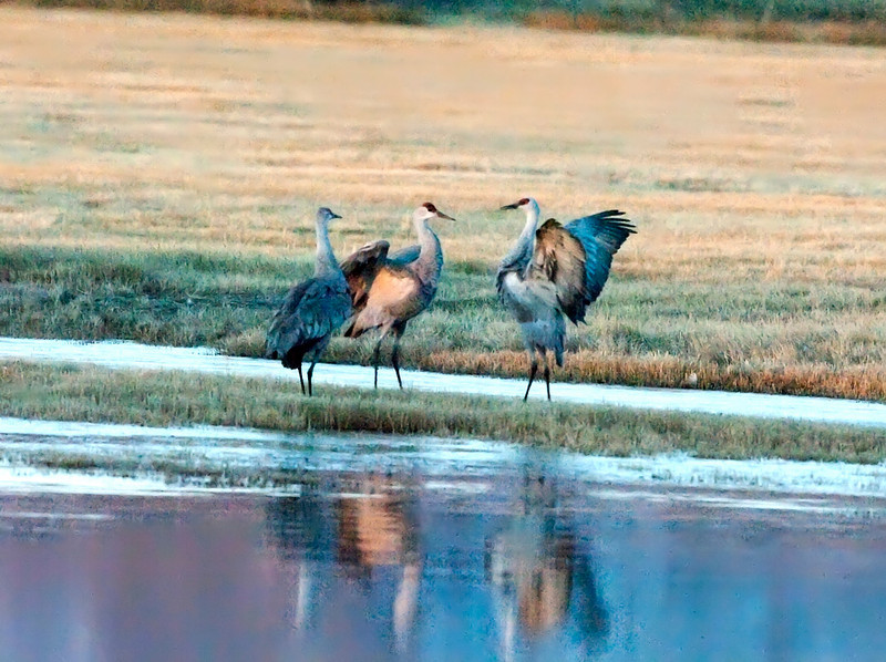 Looks like a family kerfuffle.  According to those who should know the cranes generally hang out in groups of three on this direction of travel.  one male, one female and their yearling offspring.   this looked like a vigorous family discussion to us..   the orange/golden light just before sunrise made for some wonderful colors on these more or less grey birds.  well,.. grey except for the startlingly red area on their heads.