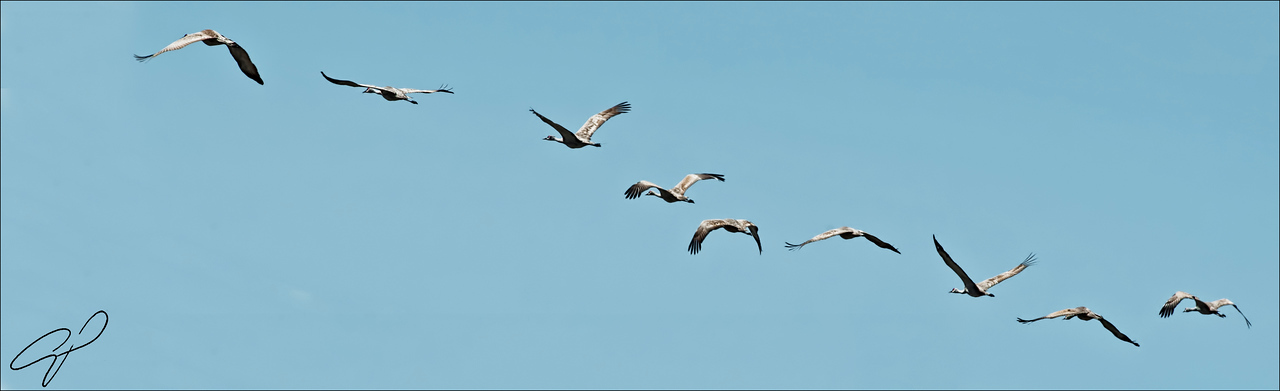 Group of cranes in flight.
