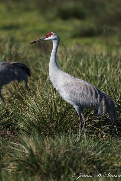 Sandhill Crane-4641
