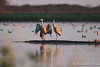 Sandhill Cranes-5300