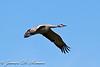 Sandhill Crane -501-
