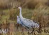 Sandhill Crane_Cosumnes-0846