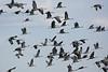Sandhill Cranes-24