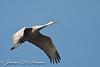 Sandhill Crane-