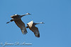 Sandhill Cranes flight, Isenburg Reserve, Woodbridge Rd., Lodi, CA