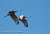 Sandhill Cranes flight, Isenburg Reserve, Woodbridge Rd., Lodi, CA
