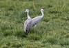 Sandhill Crane_Woodbridge-0834