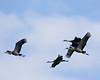 Sandhill Cranes-27