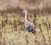 Sandhill Crane_Cosumnes-0955