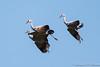 Sandhill Cranes landing-5726