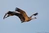 Sandhill Cranes-5277