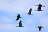 Sandhill Cranes-28